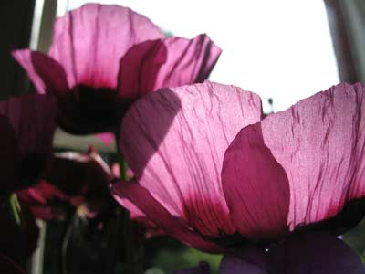 mauve-poppies.jpg